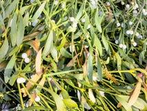 Branche de gui sur un fond en bois Photo libre de droits