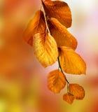Branche de hêtre de chute Image stock