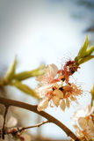 Branche de l'acacia de floraison dans la perspective de la SK Photos stock