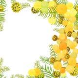Branche de la famille blanchie argentée d'acacia de mimosa des légumineuses Vect Photos libres de droits