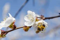 Branche de la fleur de ressort Image stock