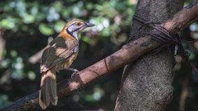 Branche de Lesser Necklaced Laughingthrush On Tree Photographie stock