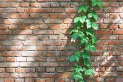 Branche de lierre Photo stock