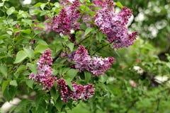 Branche de lilas dans le jardin Photographie stock libre de droits