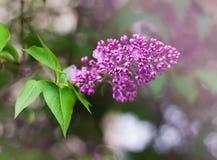 Branche de lilas de floraison Photos libres de droits