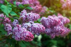 Branche de lilas sur la rue photo stock