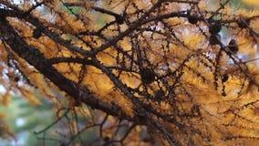 Branche de mélèze avec des cônes banque de vidéos