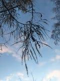 Branche de mélèze sur le fond du ciel bleu images stock
