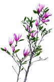 Branche de magnolia Photos stock