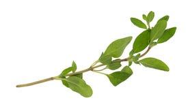 Branche de marjolaine organique sur un fond blanc photographie stock libre de droits