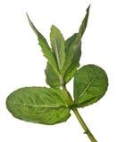 Branche de menthe poivrée d'isolement par vert Photo libre de droits