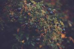 Branche de myrtilles d'automne d'un arbre de baie image stock