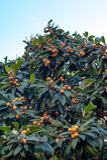 Branche de nèflier avec beaucoup de fruits mûrs Photographie stock libre de droits