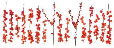 Branche de Noël avec les baies rouges d'isolement image libre de droits