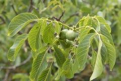 Branche de noix avec l'élevage vert de noix Photo libre de droits