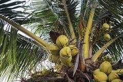 Branche de noix de coco sur le palmier de Cocos Photo verte de fruit de paume Noix de coco sur l'arbre Paysage tropical de jardin photos libres de droits