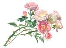 Branche de pâle - roses roses illustration stock