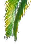 Branche de palmier d'isolement sur le fond blanc Photographie stock