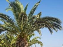 Branche de paume en Grèce photo stock