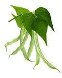 Branche de phaseolus vulgaris d'haricot, chemin Photo stock