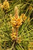 Branche de pin à feuilles persistantes avec des pousses de jeunes et des bourgeons verts frais, aiguilles Photo libre de droits