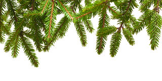 Branche de pin Photo libre de droits