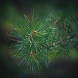 Branche de pin Photographie stock