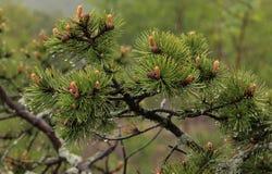 Branche de pin Photo stock