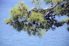 Branche de pin au-dessus de la mer Images libres de droits
