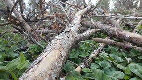 Branche de pin au sol Photos libres de droits