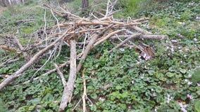Branche de pin au sol Image libre de droits