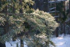 Branche de pin au soleil photos libres de droits