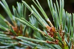 Branche de pin avec de jeunes cônes photos libres de droits