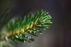 Branche de pin avec des aiguilles photo libre de droits