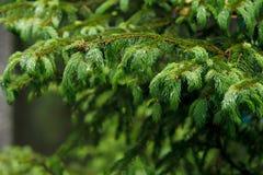 Branche de pin avec des baisses de pluie photo libre de droits