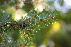 Branche de pin avec des baisses de rosée photo stock
