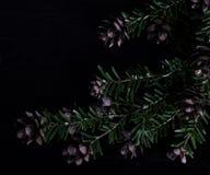 Branche de pin avec des cônes de pin sur le fond noir Images stock