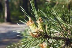 Branche de pin avec de jeunes cônes image libre de droits