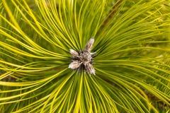 Branche de pin avec la fin à couvercle serti verte de bourgeon  Photos stock