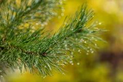 Branche de pin avec la premières neige et gouttes de pluie Détails de nature en automne images stock