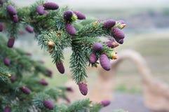 Branche de pin avec les cônes pourpres de pin Photos stock