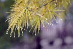Branche de pin avec les gouttelettes d'eau gelées sur des aiguilles de pin ; Photo libre de droits