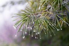 Branche de pin avec les gouttelettes d'eau gelées sur des aiguilles de pin Photo stock