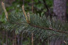 Branche de pin avec les transitoires vertes en gros plan photos stock