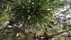 Branche de pin d'une pluie d'arbre conifére au printemps banque de vidéos
