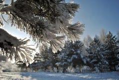Branche de pin dans le gel neigeux sur le fond neigeux de forêt Plan rapproché Images stock
