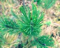 Branche de pin en parc Images libres de droits