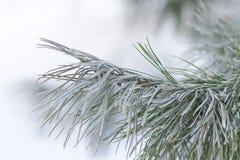 Branche de pin de Frost Photos libres de droits