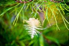 Branche de pin impeccable avec la plume emprisonnée Photos stock