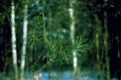 Branche de pin sur Blured Forest Background Photos libres de droits